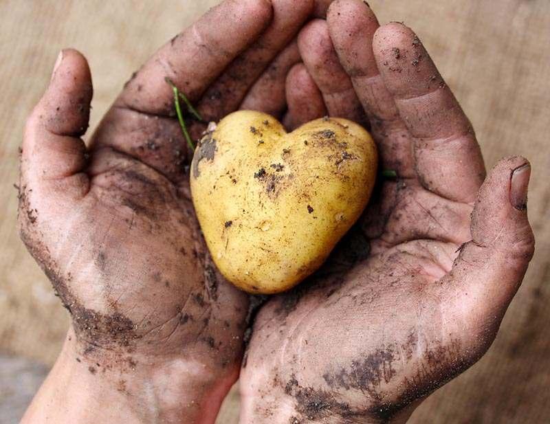 Herz-Kartoffel in Händen, die mit Erde beschmutzt sind