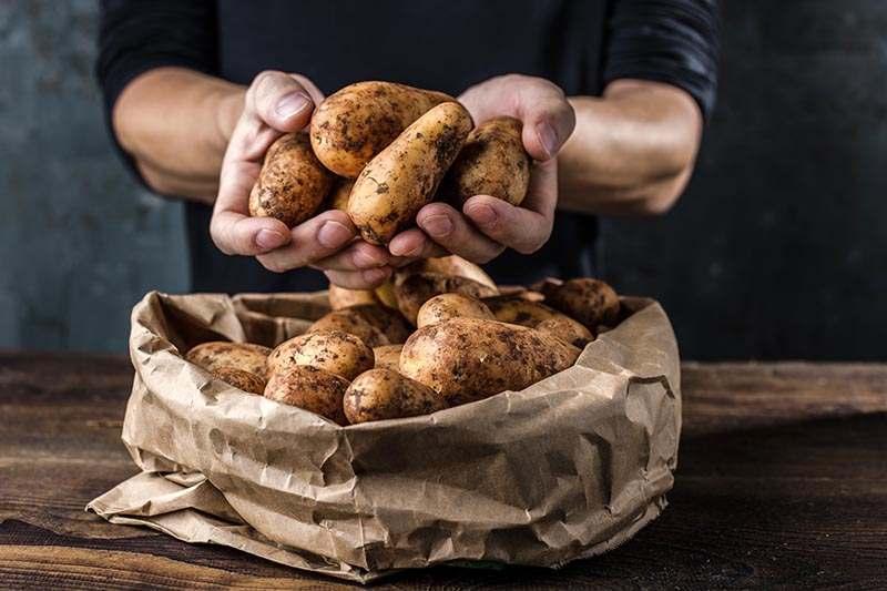 Frische Kartoffeln vom Feld in Sack