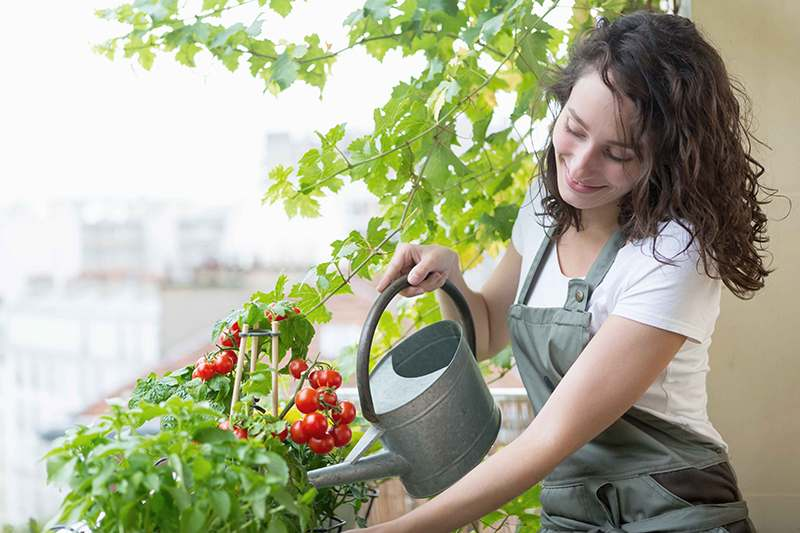 View of a Young woman watering tomatoes on her city balcony garden - Nature and ecology theme