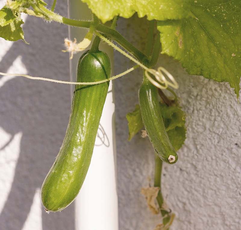 Cucumber Plant growing on a balcony