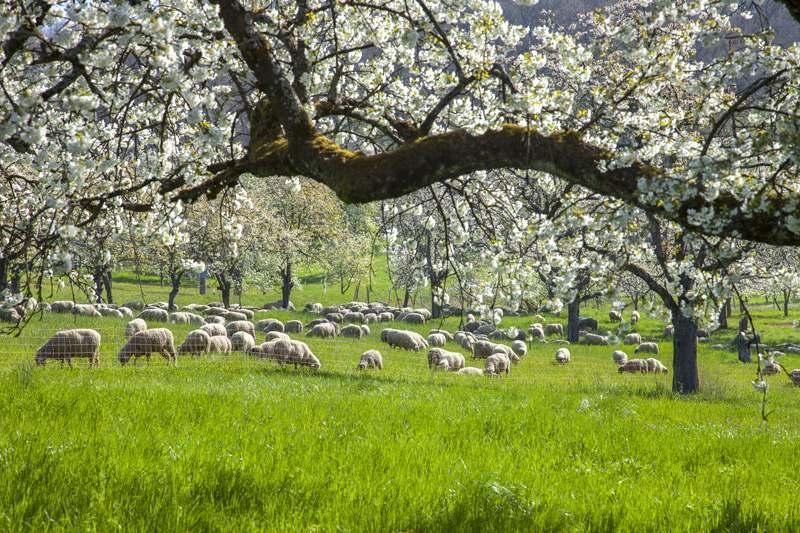Streuobstbau mit Viehhaltung auf der Grünfläche unter den Bäumen