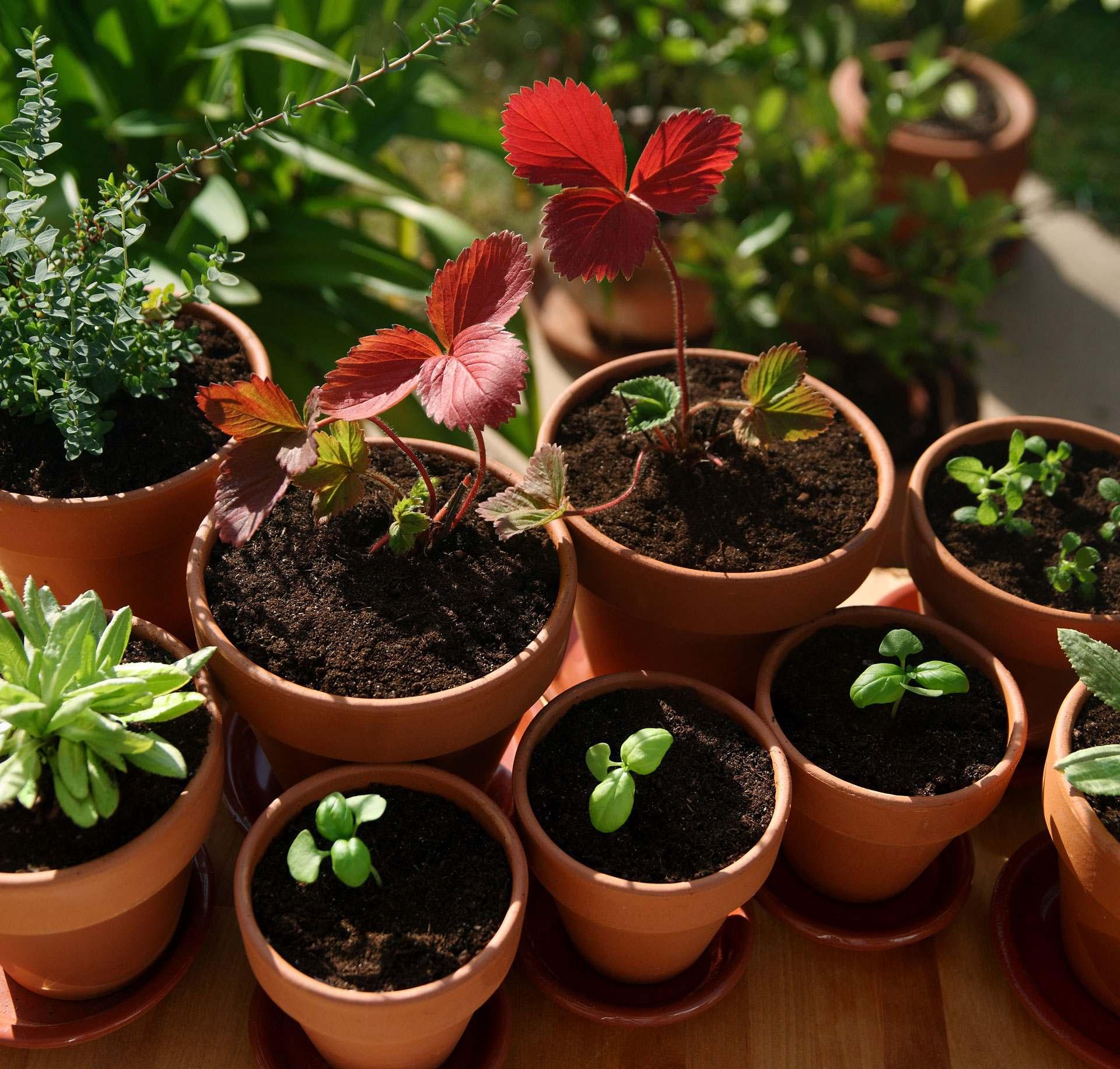Vorgezogene Pflanzen bereit zum Auspflanzen