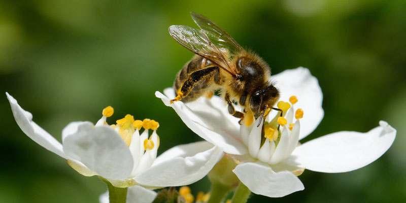 Biene auf einer Blume, die Nektar trinkt