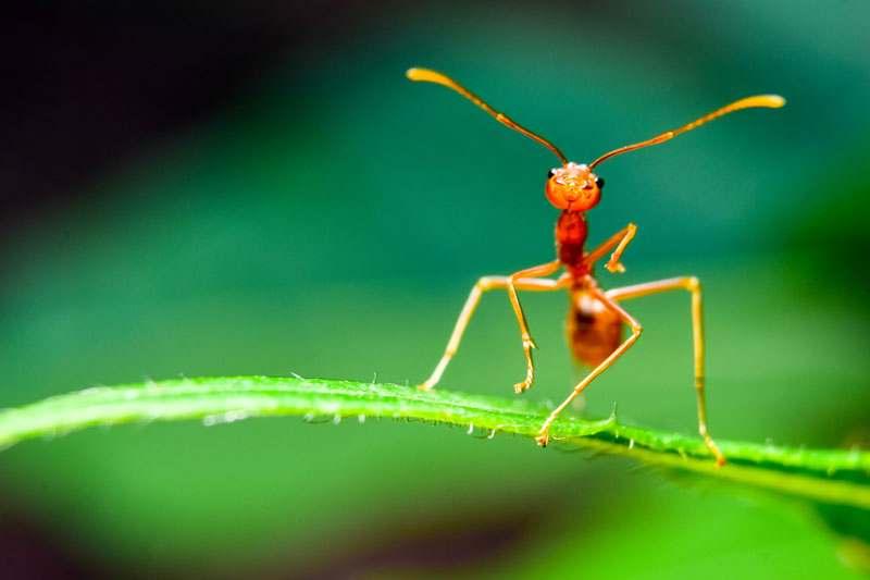 Ameise Nahaufnahm auf Blatt