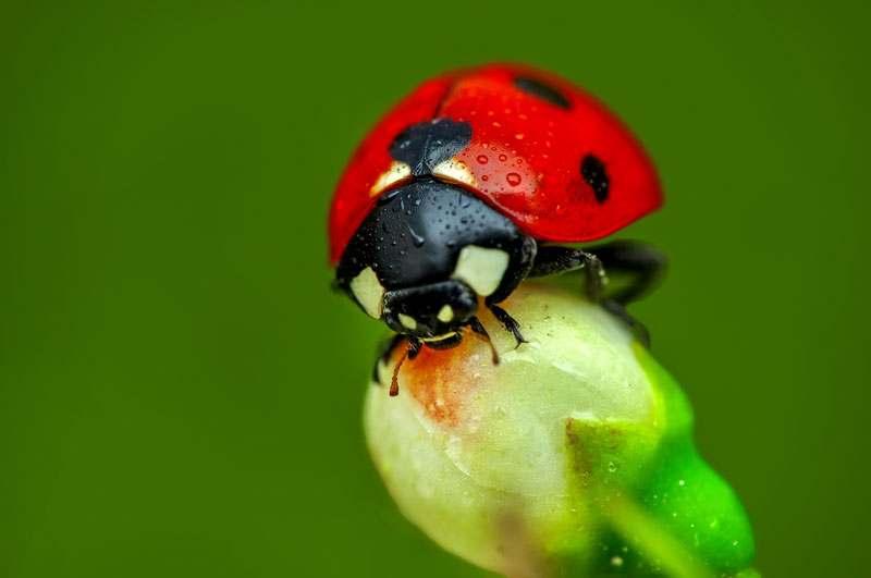 Marienkäfer auf Blumenknospe
