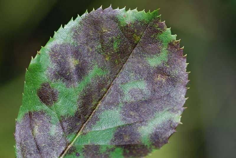 Bakterien oder Pilzbefall an einem Blatt