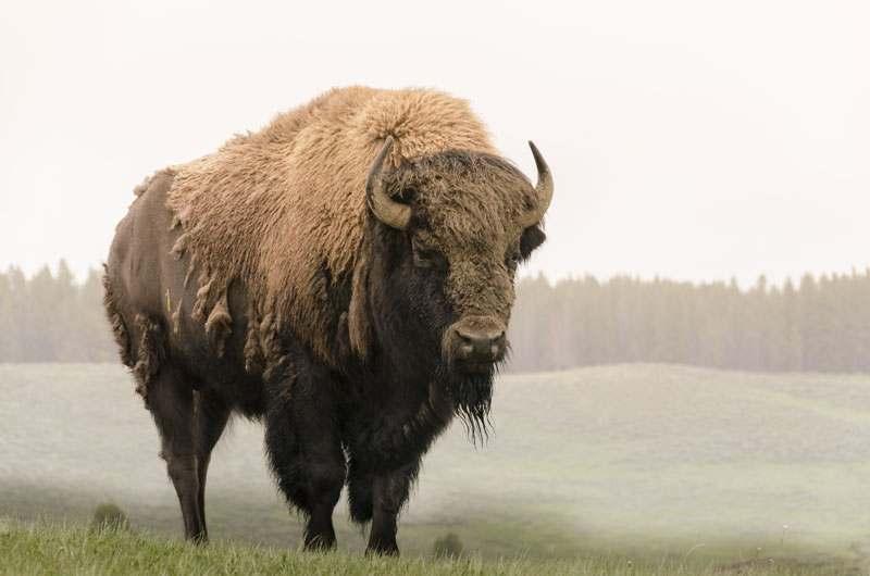 Bison auf der Weide