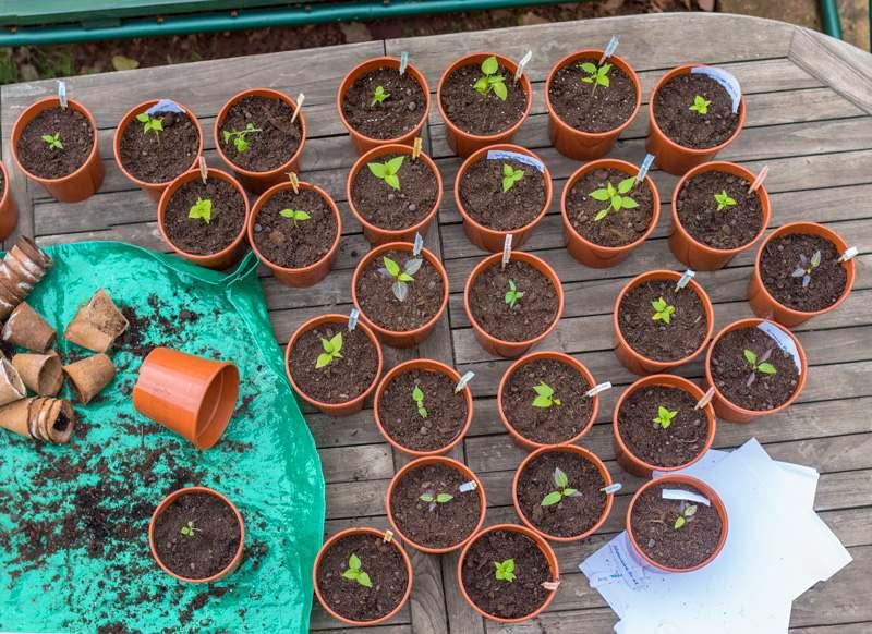 Pflanzen umtopfen Sprösslinge